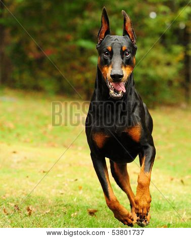 The Doberman