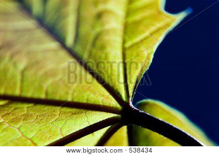 poster of abstract back lit macro of sycamore leaf