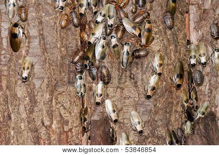 Cockroaches on tree bark