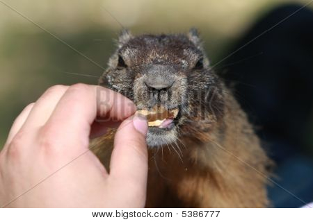 Don't Feed The Marmots