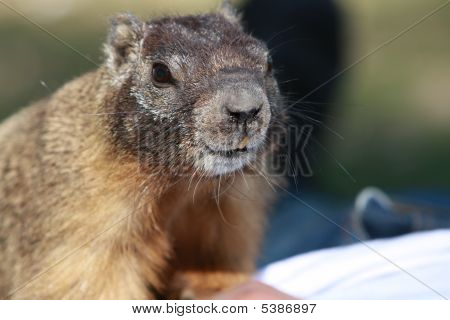 Ground Squirrel Looking At You