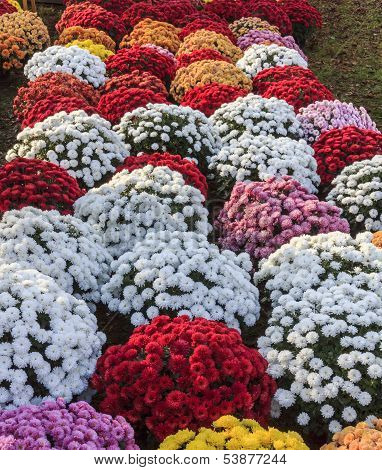 Chrysanthemums Of Various Colors