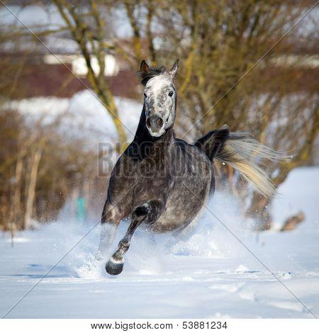 Horse runs in winter, Arabian horse.