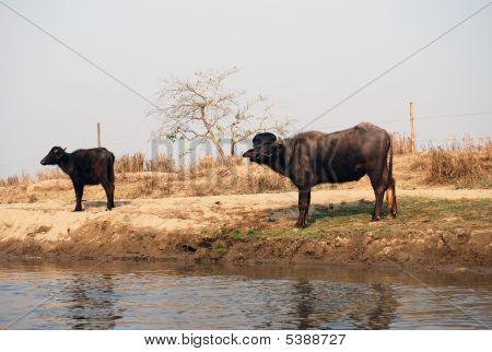Bulls by river