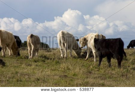 dairy cows in a green field. poster