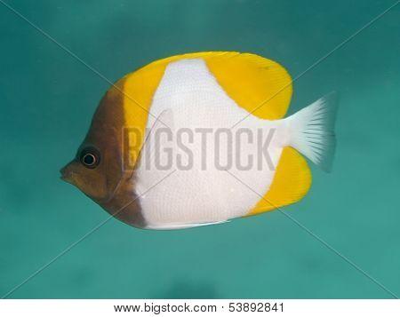 Yellow Pyramid Butterflyfish