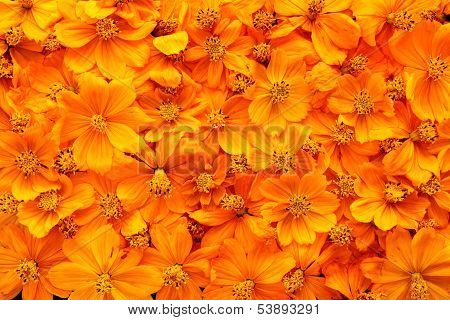 Dried cosmos flowers