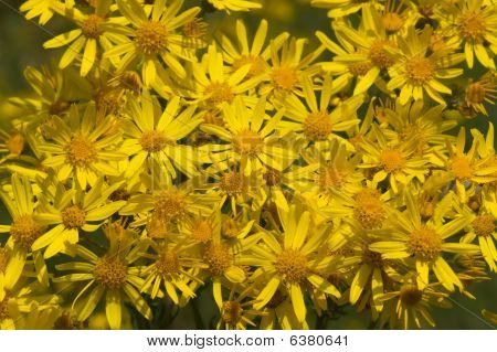 Yellow Camomile Backgound