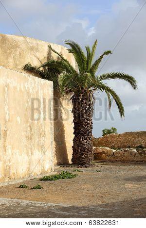 Palm In El Jadida, Morocco