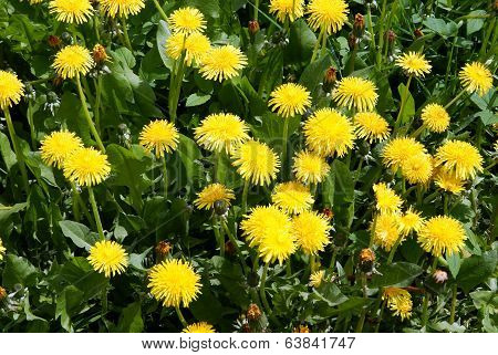 yellow flowers of dandelion plant om a meadow at spring