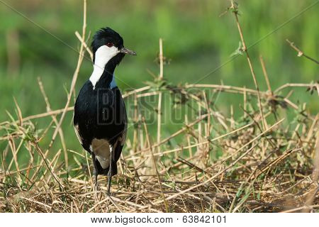 Spur-winged Lapwing (vanellus Spinosus) Alert On A Grassy Bank