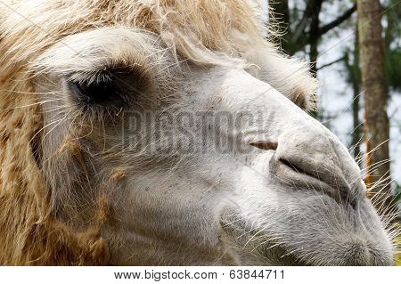 Close-up Camel