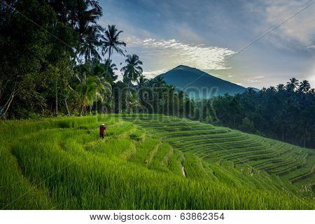 BALI - APRIL 12, 2014: An unidentified farmer checks his growing paddy plants on the terraced rice fields in Bali, Indonesia. Rice is an important food source and grows well on fertile volcano soil.