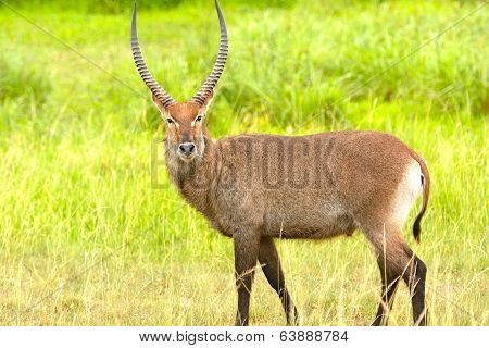 A Waterbuck In The African Veldt