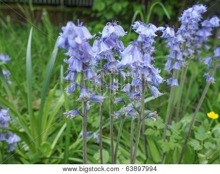 Mertensia Virginica Flower