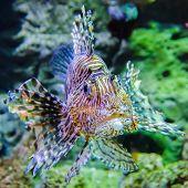 poisonous exotic zebra lion fish in aquarium poster