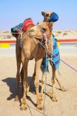 Robot controlled camel racing in the desert of Qatar Middle East. Racing camels warming up in the morning sun poster