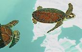 Aerial view of endangered mexican turtles in turquoise water poster