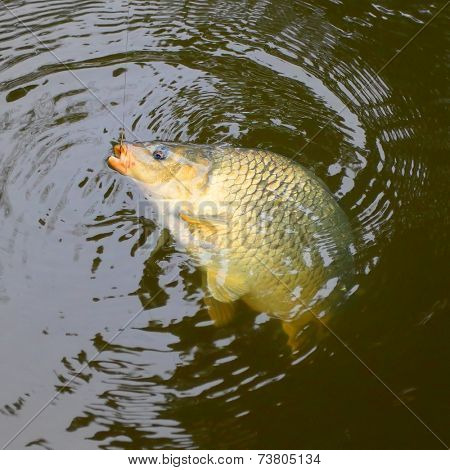 Fishing catch. The Common Carp ( Cyprinus Carpio ). In Central Europe ( Poland and Czech Republic ), fish is a traditional part of a Christmas Eve dinner.  poster