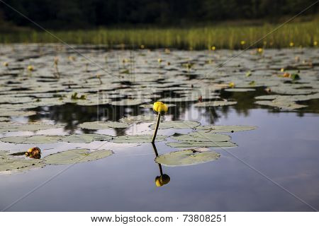 Yellow flower and water lily reflected in river