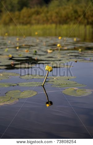 Yellow flower from water lily