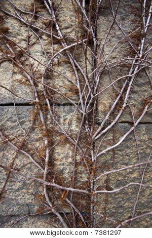 Vines on granite wall.
