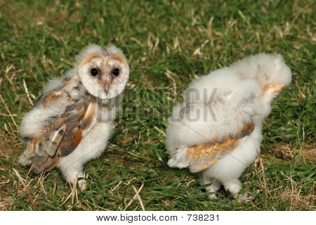 Pair of baby barn owls walking on the grass. poster