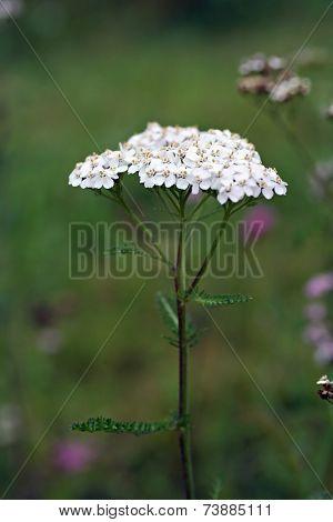 Wildflower - Yarrow (achillea Millefolium)