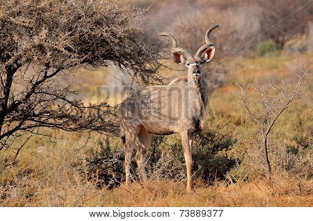 Greater Kudu Bull