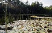 Lily pads and reeds in Squam River, New Hampshire, sun coming through trees poster