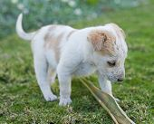 Young mixed-breed puppy playing with a palm frond in the garden poster