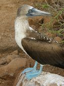 blue-footed boobie in the galapagos islands, sitting on a rock poster