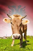 Cow with flag on background series - Albania poster
