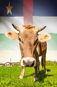 Cow with flag on background series - Central African Republic poster
