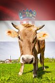 Cow with flag on background series - Croatia poster