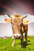 Cow with flag on background series - Latvia poster