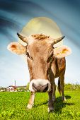 Cow with flag on background series - Palau poster