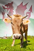 Cow with flag on background series - Wales poster