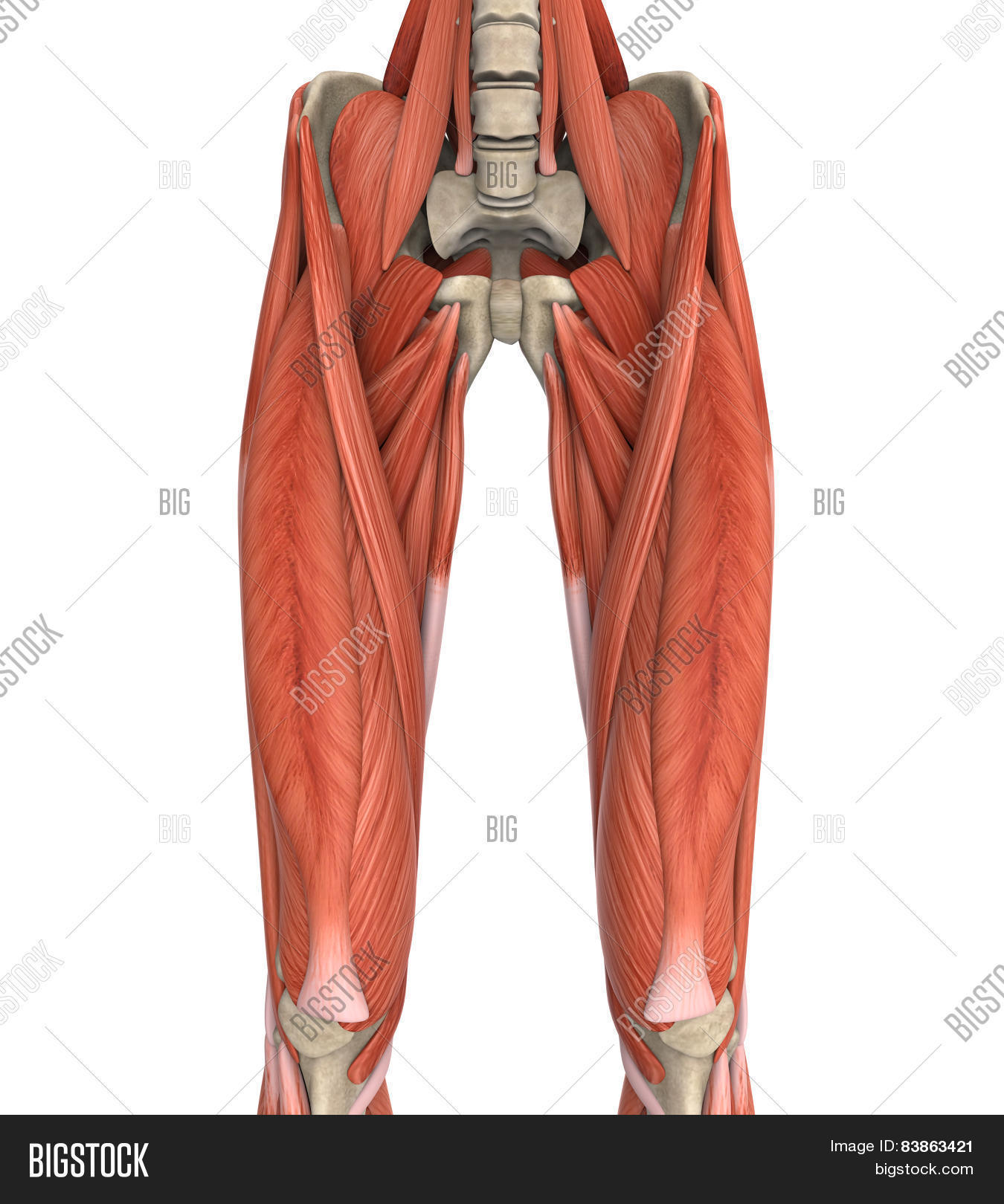 Upper Legs Muscles Image Photo Free Trial Bigstock