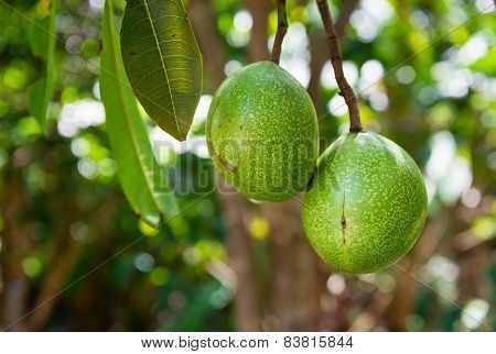 Cerbera Manghas Tropical Evergreen Poisonous Tree Fruits