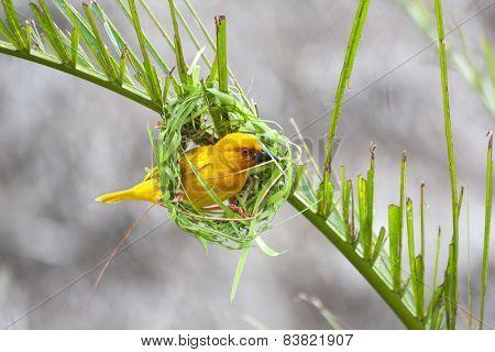 Golden palm weaver bird