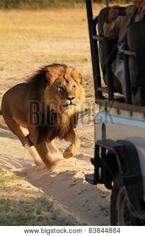 Cecil the Lion Chasing vehicle