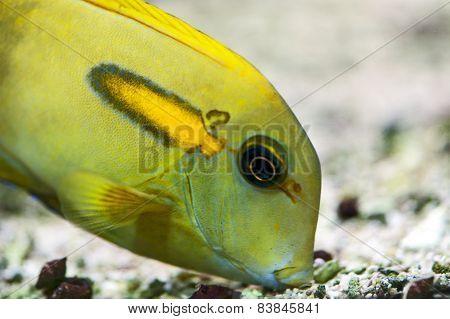 Orange Shoulder Tang (Acanthurus olivaceus)