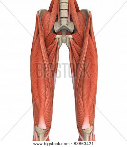 Upper Legs Muscles Anatomy Illustration. 3D render poster