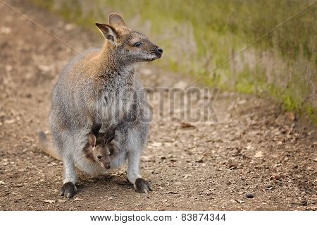 Kangaroo Mother With Small Baby In Her Pocket