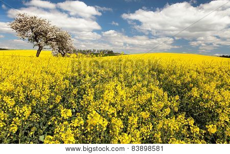 Field Of Rapeseed With Apple Tree