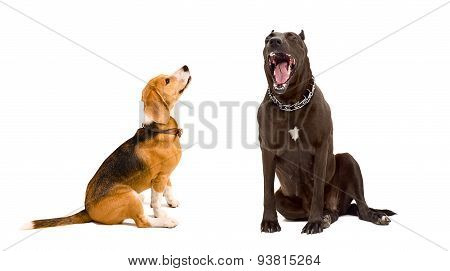 Yawning Staffordshire terrier and beagle