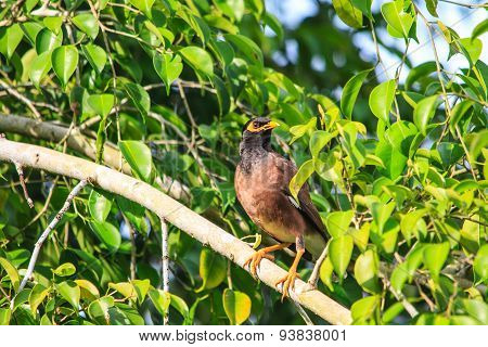 Common Myna Bird