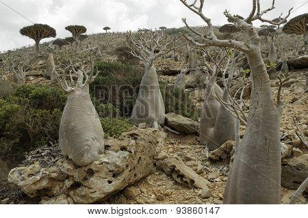 The Socotra Desert Rose or Bottle Tree (Adenium obesum socotranum)