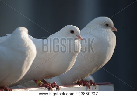 three mail white dove